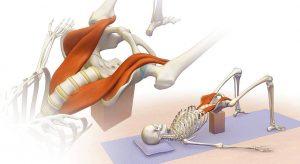 3 Daagse Yin Yoga & Psoas Release Introductie II @ Body Basics Well-being | Eindhoven | Noord-Brabant | Nederland